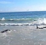 stranded_dolphines_brazil