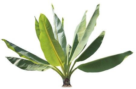 bananenpflanze als zimmerpflanze tipps zur pflege the intelligence. Black Bedroom Furniture Sets. Home Design Ideas