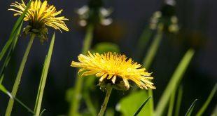 Bild Dandelion