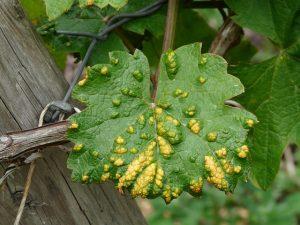 befallene Blätter von Milben