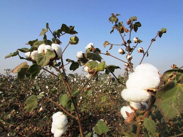 Bild Baumwolle